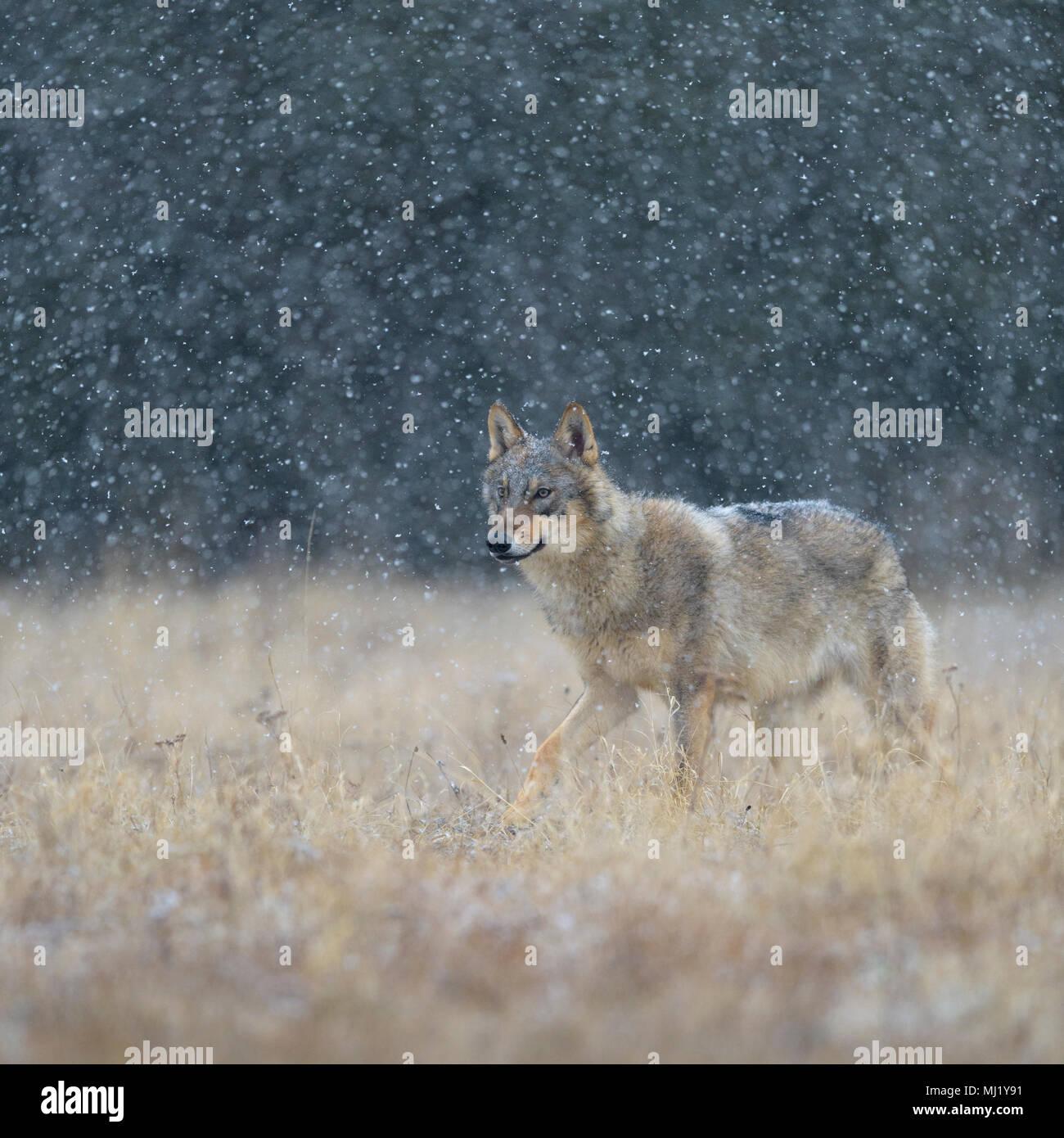 Gray wolf (Canis lupus), runs across a meadow in heavy snowfall, National Park Little Fatra, Slovakia Stock Photo