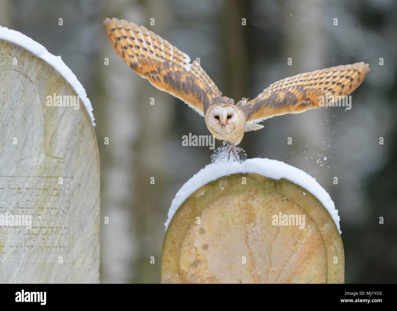 Common barn owl (Tyto alba), flying over snow-covered gravestones in a cemetery, Moravia, Czech Republic Stock Photo