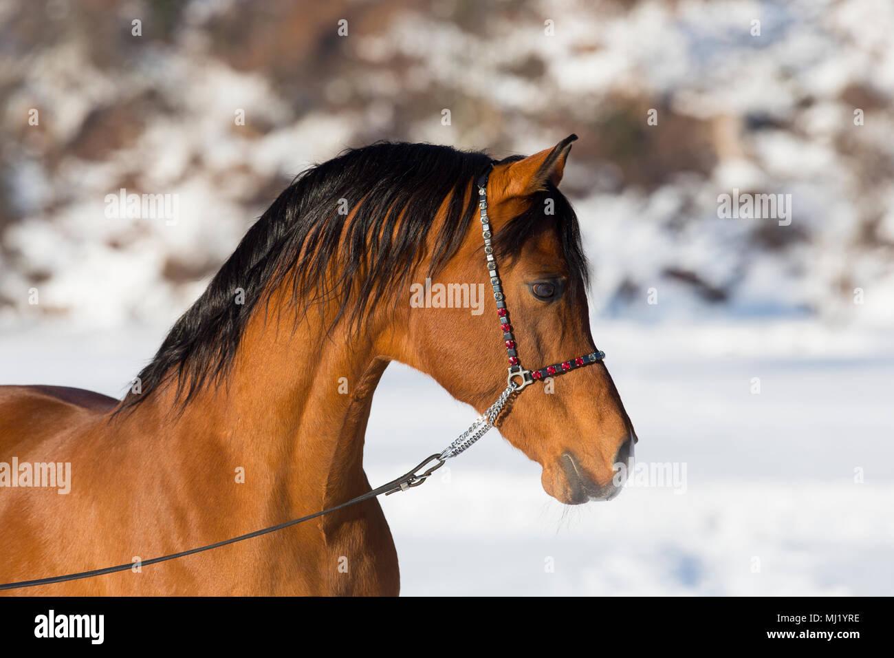 Arabian horse, Arabian stallion, animal portrait in winter, Tyrol, Austria - Stock Image