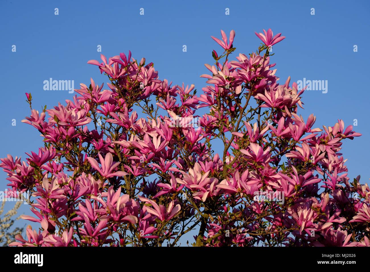 Mulan Magnolia Magnolia Liliiflora Flowering Magnolia Bush