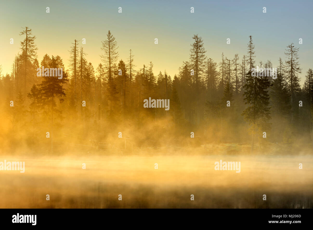 Sunrise at the Oder pond with morning mist, natural forest, spruces partly dead due to bark beetle infestation - Stock Image