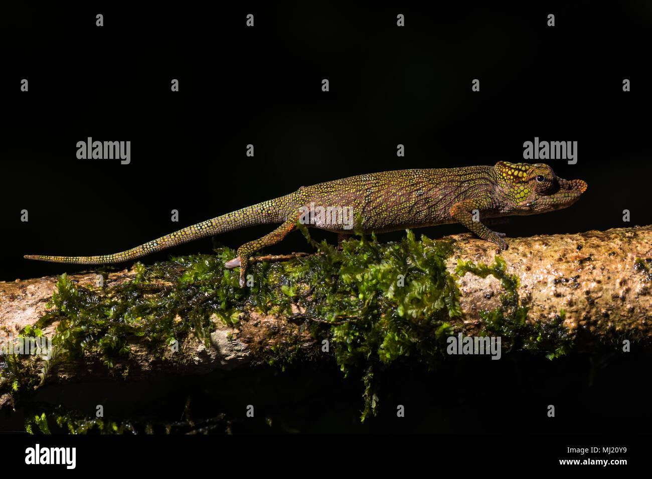 Calumma nasutum (Calumma nasutum), male on mossy branch, Andasibe National Park, Madagascar - Stock Image