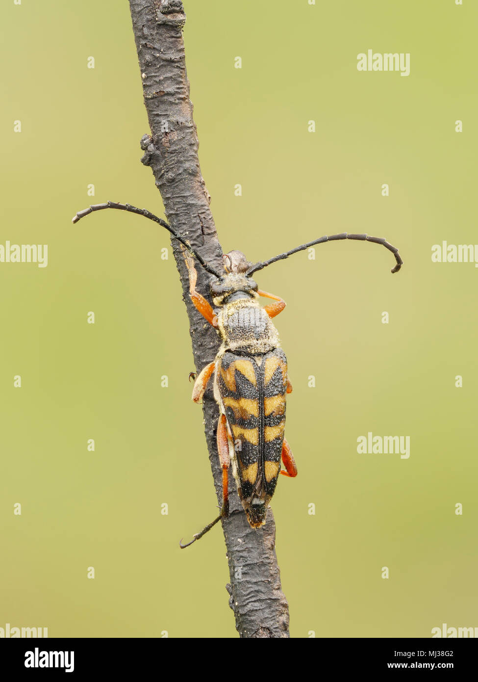 A Zebra Longhorn (Typocerus zebra) beetle perches on its overnight roost in the early morning. - Stock Image