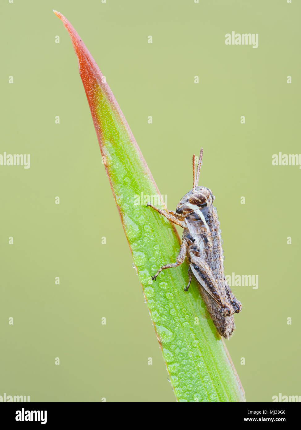 A dew-covered Spur-throated Grasshopper (Melanoplus sp.) nymph perches on a blade of grass in the cool air of early morning. - Stock Image
