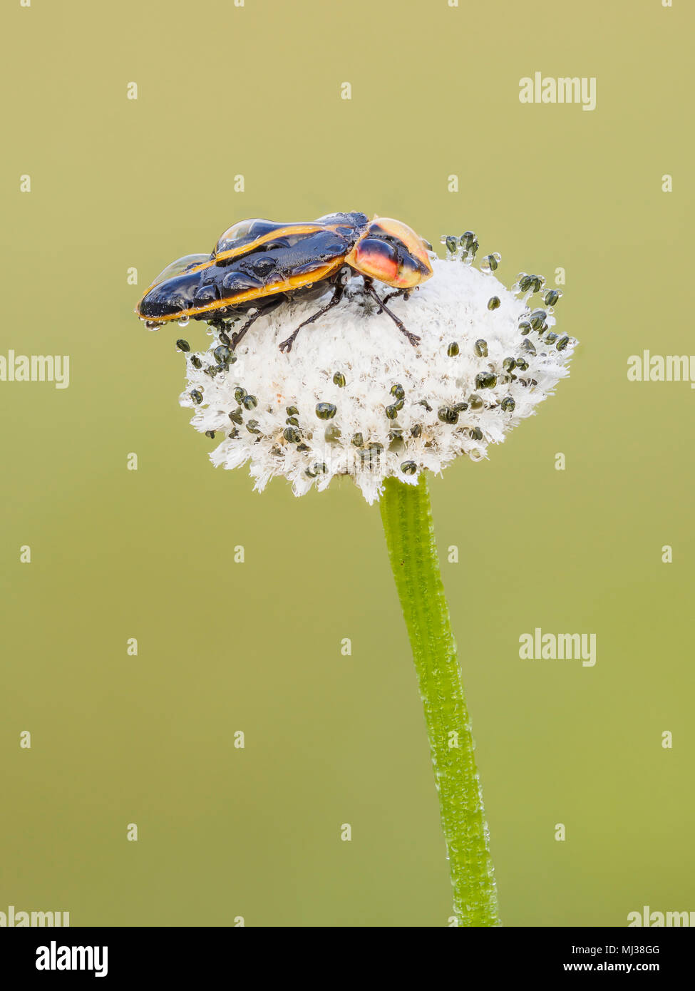 A dew covered firefly (Pyractomena ecostata) perches on a Pineland Bogbutton (Lachnocaulon dygynum) inflorescence in the early morning. - Stock Image