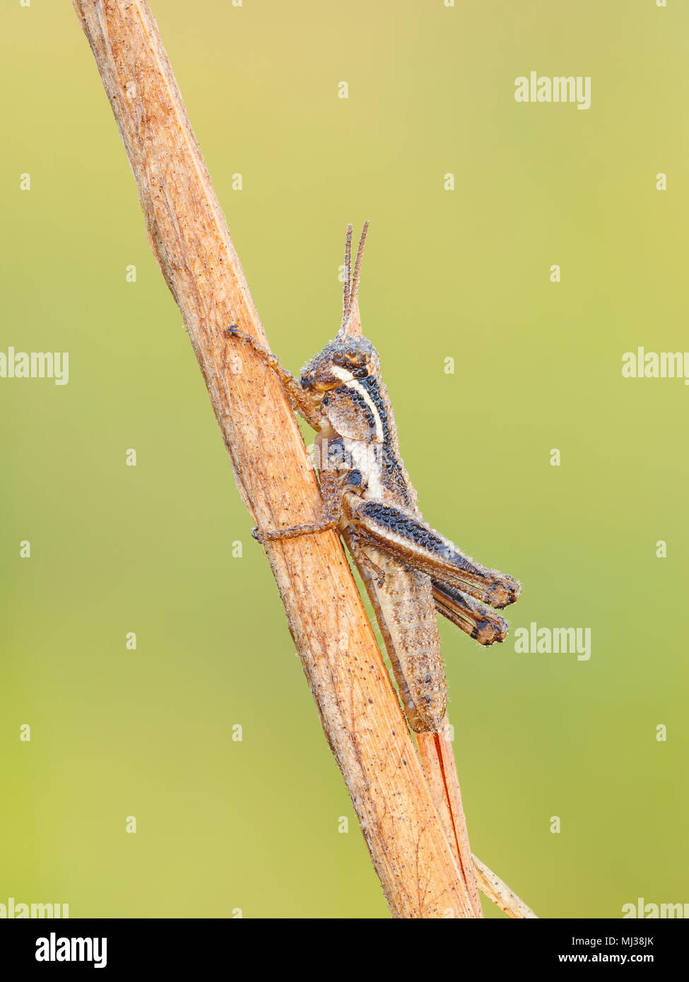 A dew-covered Spur-throated Grasshopper (Melanoplus sp.) nymph perches on a plant stem in the cool air of early morning. - Stock Image
