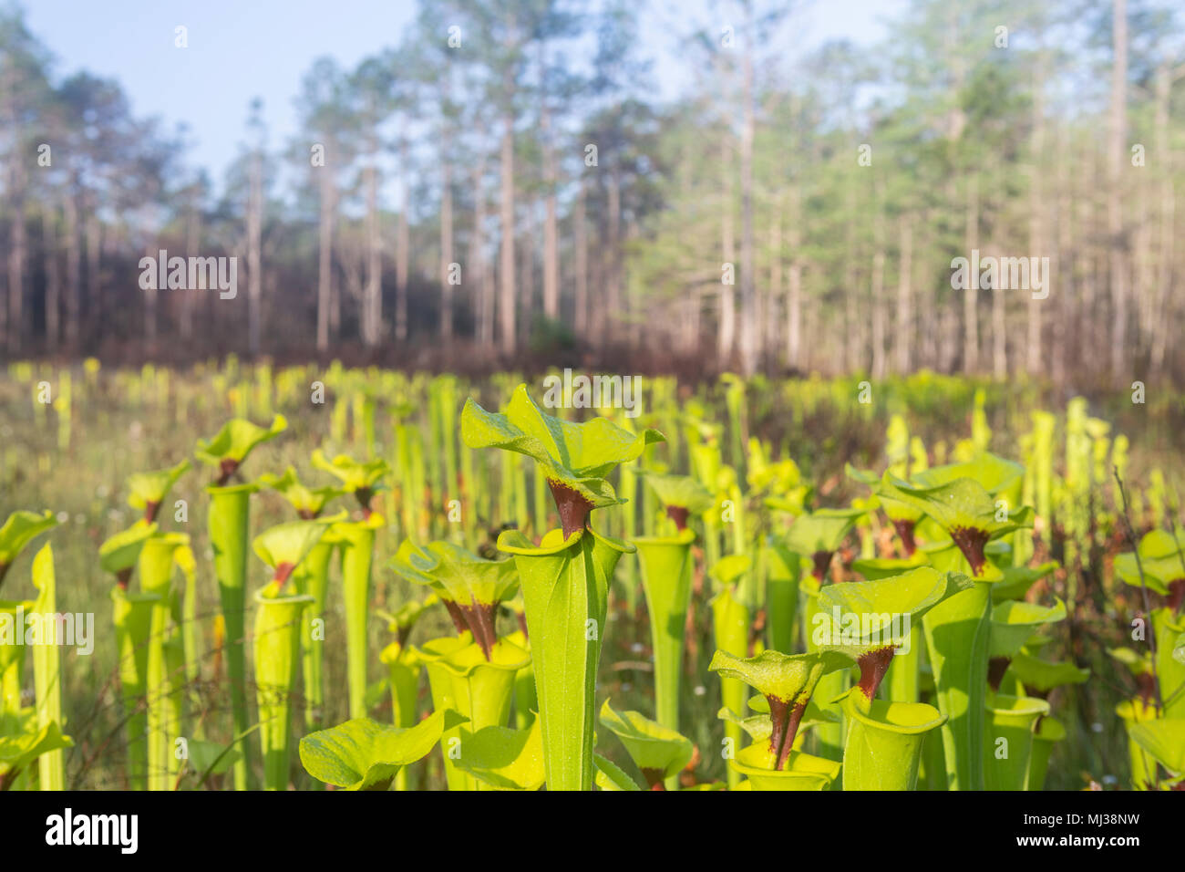 Yellow Pitcherplants (Sarracenia flava var. rugelii) are abundant in this seepage slope/wet prairie habitat in Apalachicola National Forest, Florida. - Stock Image