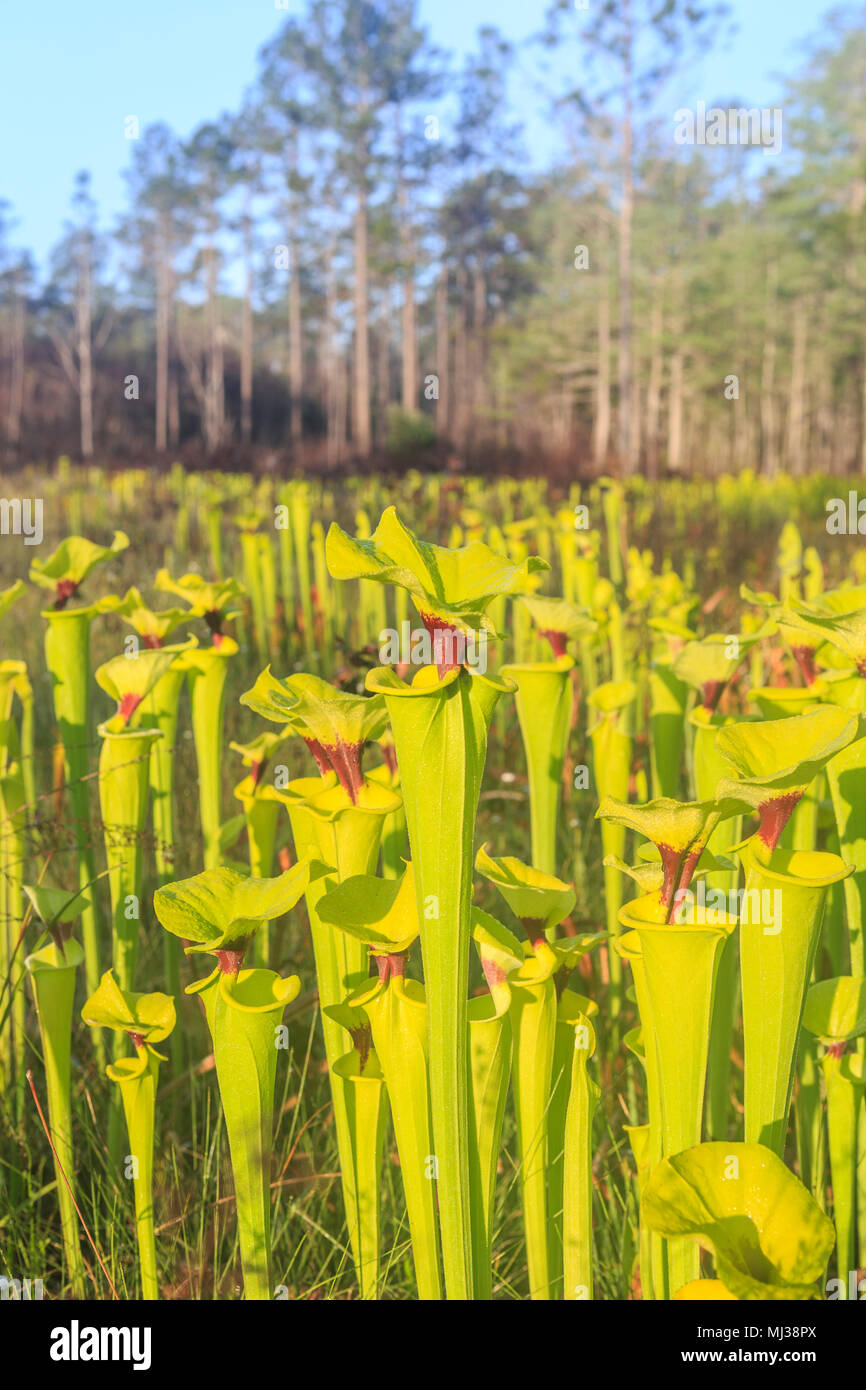 Yellow Pitcherplants (Sarracenia flava var. rugelii) are abundant in this seepage slope/wet prairie habitat in Apalachicola National Forest, Florida. - Stock Image