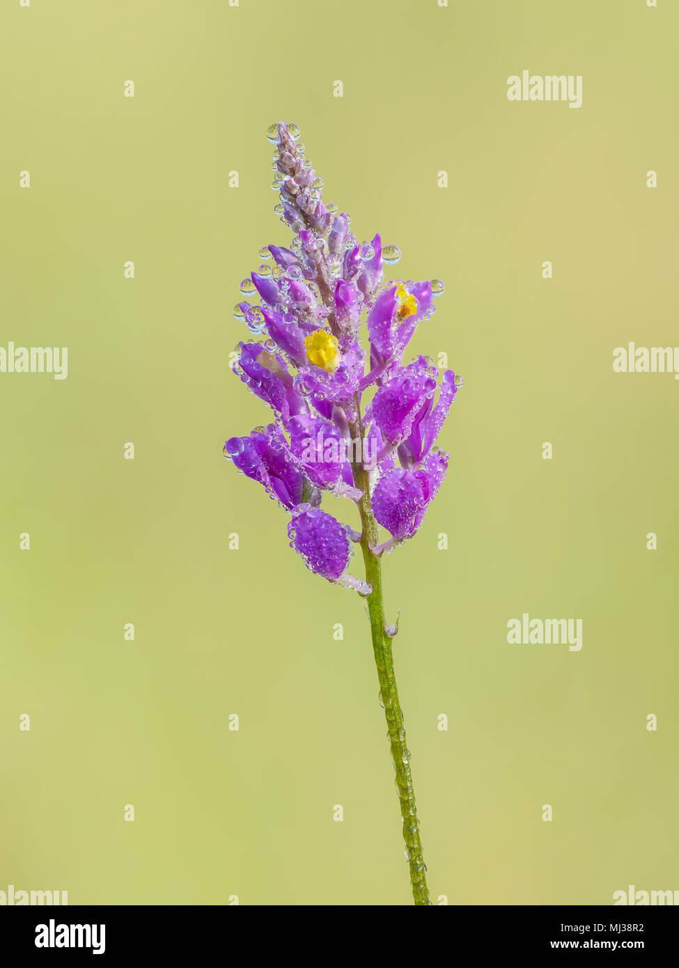 Dew covered flowers of a Chapman's Milkwort (Polygala chapmanii) inflorescence in spring. - Stock Image