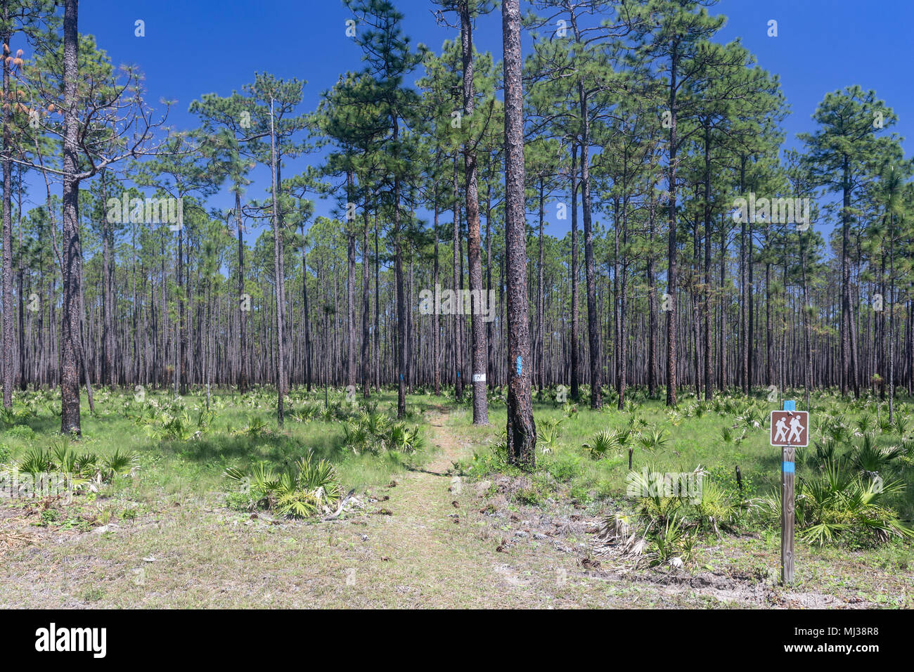 A hiking trail runs through a pine flatwoods habitat in Apalachicola National Forest, Florida. - Stock Image