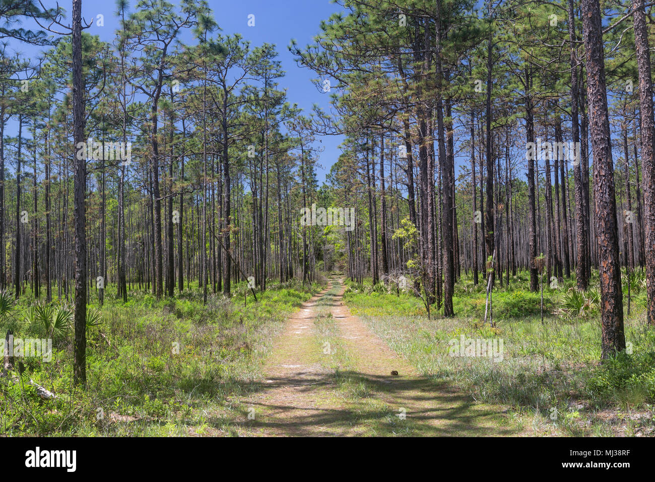 A forest road runs through a pine flatwoods habitat in Apalachicola National Forest, Florida. - Stock Image