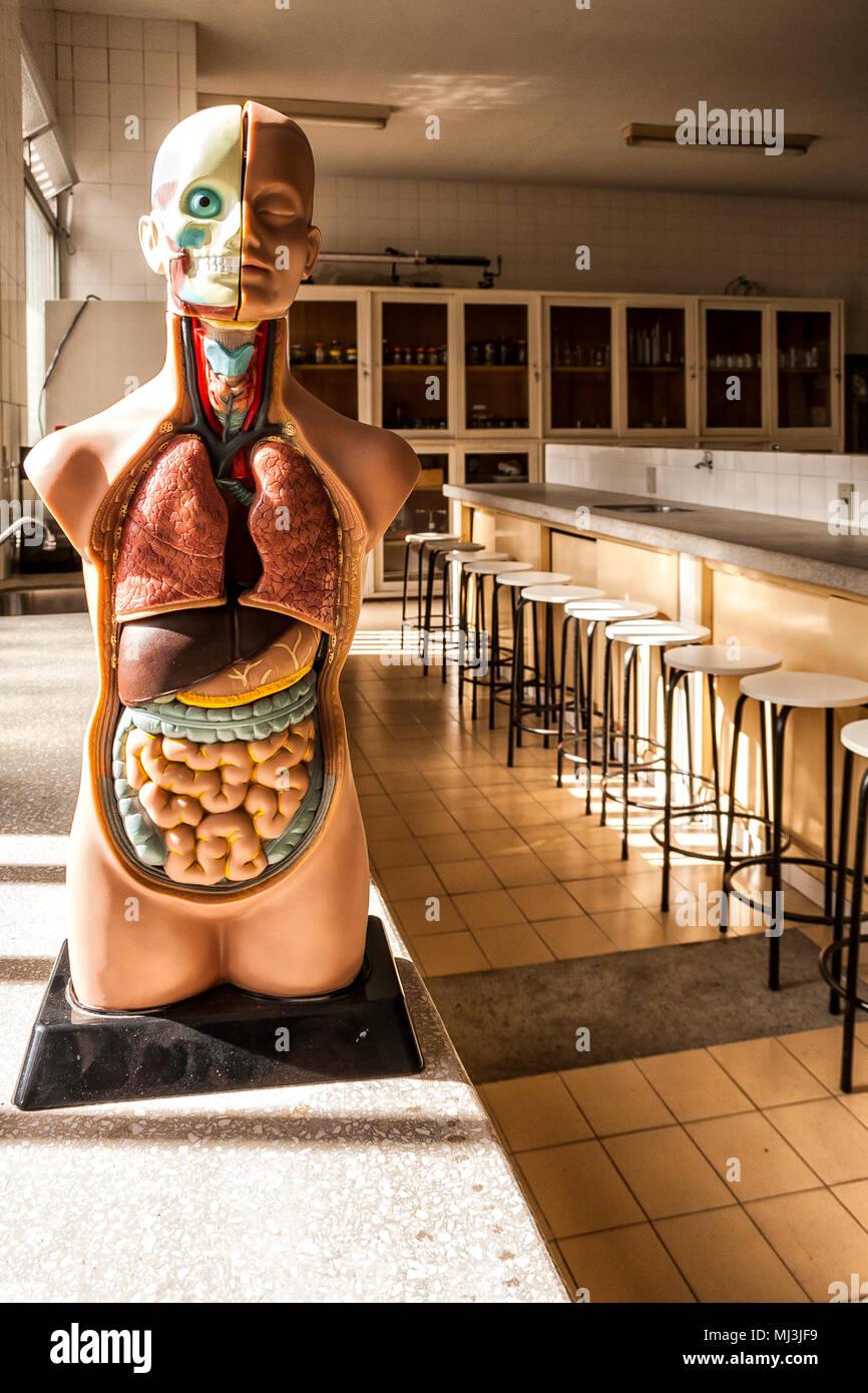 Human anatomy model in the science lab of a school in southern Brazil. Criciuma, Santa Catarina, Brazil. - Stock Image