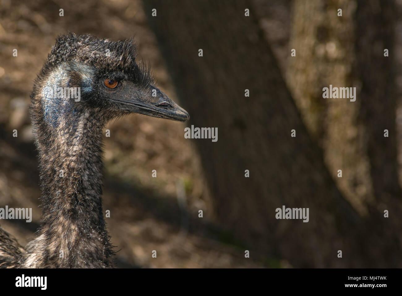 Head shot of an emu - Stock Image