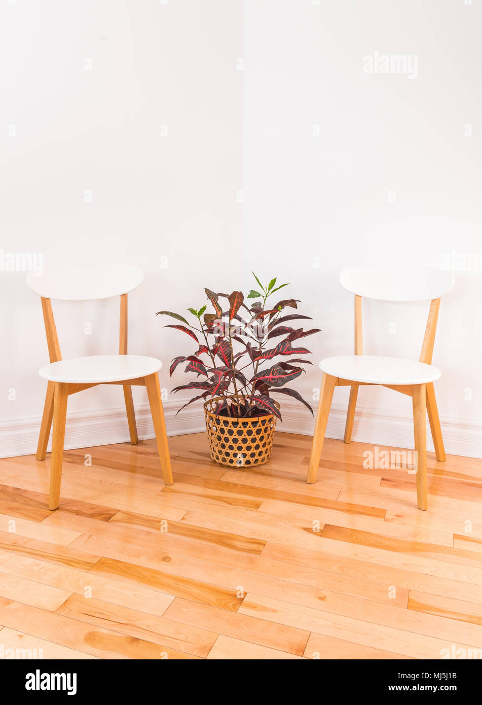 Room Corner With Elegant Chairs And Colorful Croton Plant In A
