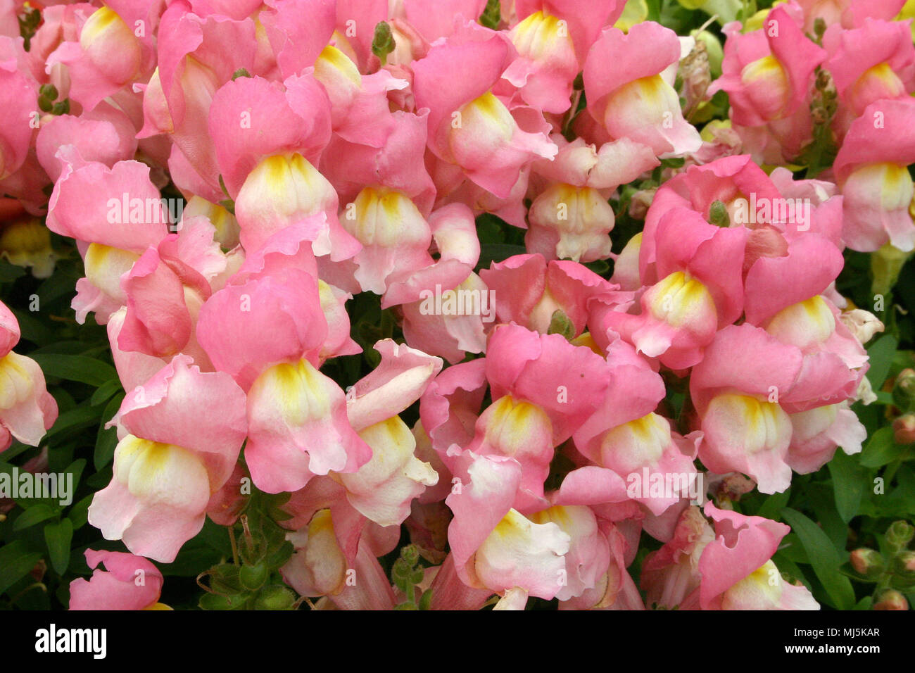 Antirrhinum Is A Genus Of Plants Commonly Known As Dragon Flowers Or