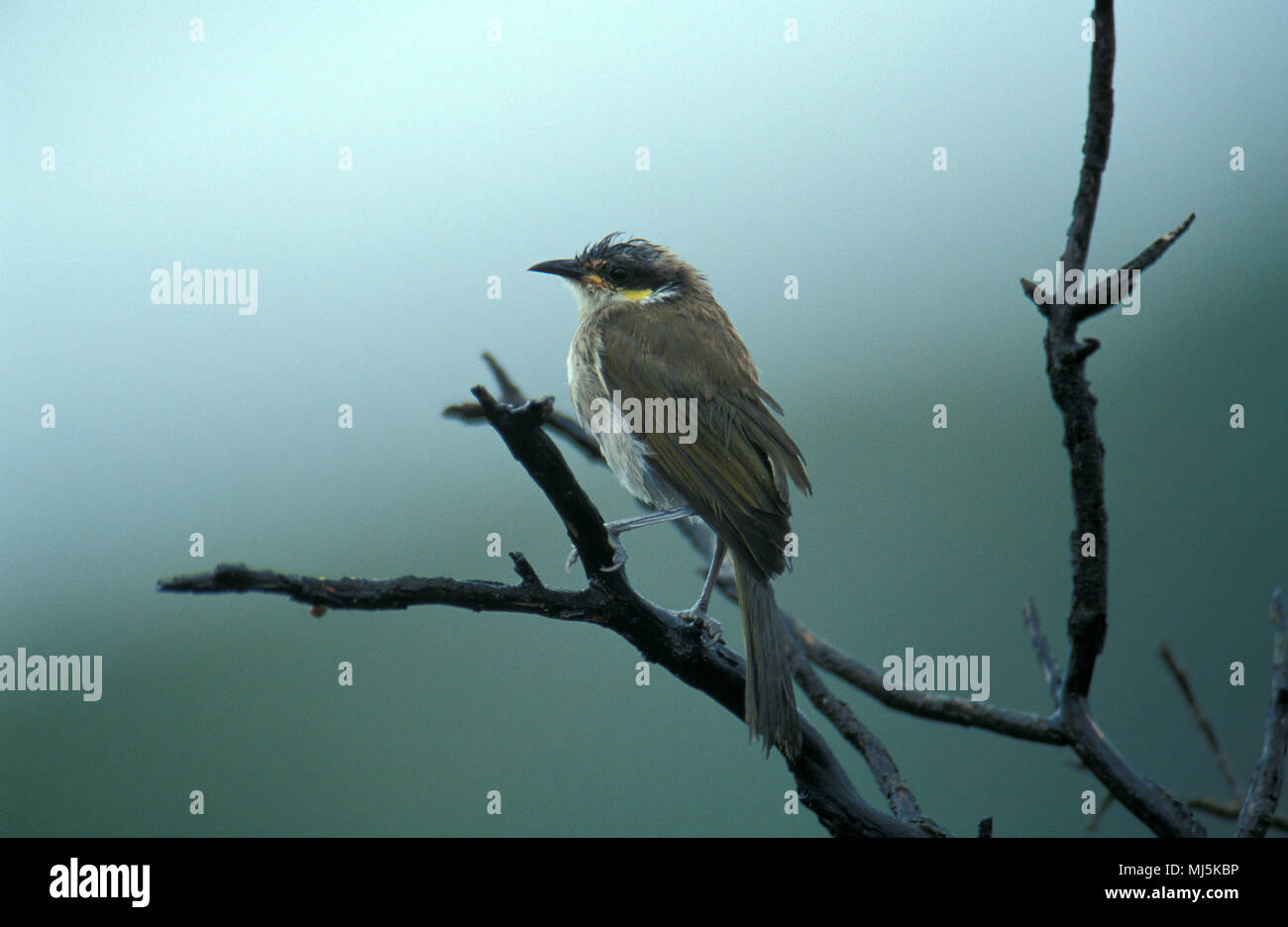 The Singing Honeyeater is a small bird found in Australia, and is part of the Honeyeater family, Meliphagidae - Stock Image