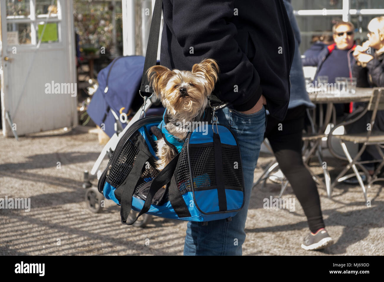 A man with little dog in a bag, Stockholm, Sweden. - Stock Image
