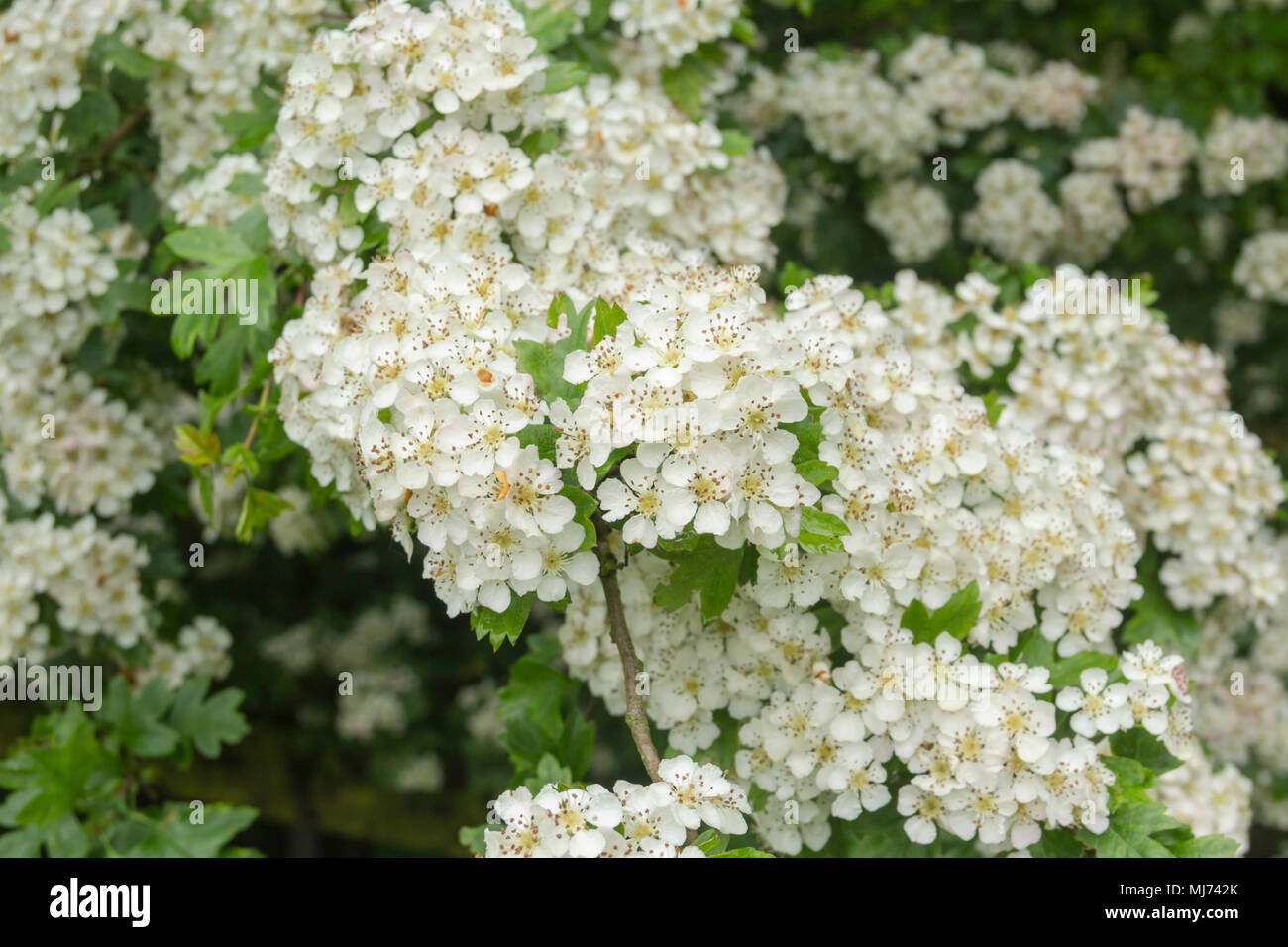 Blossom on a hawthorn tree (crataegus monogyna), also known as as a May-Tree or Mayblossom becuase of the month in which it usually flowers. - Stock Image
