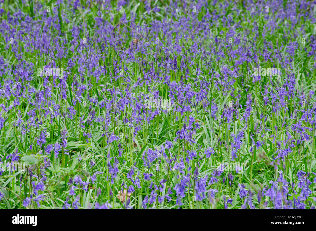 Large group of bright Bluebells in forest - Stock Image
