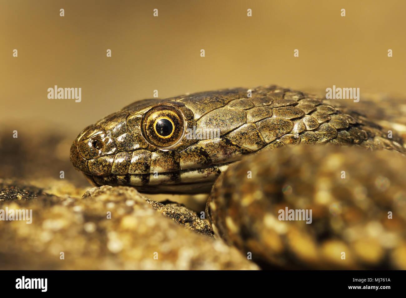 juvenile dice snake portrait ( Natrix tessellata ) - Stock Image