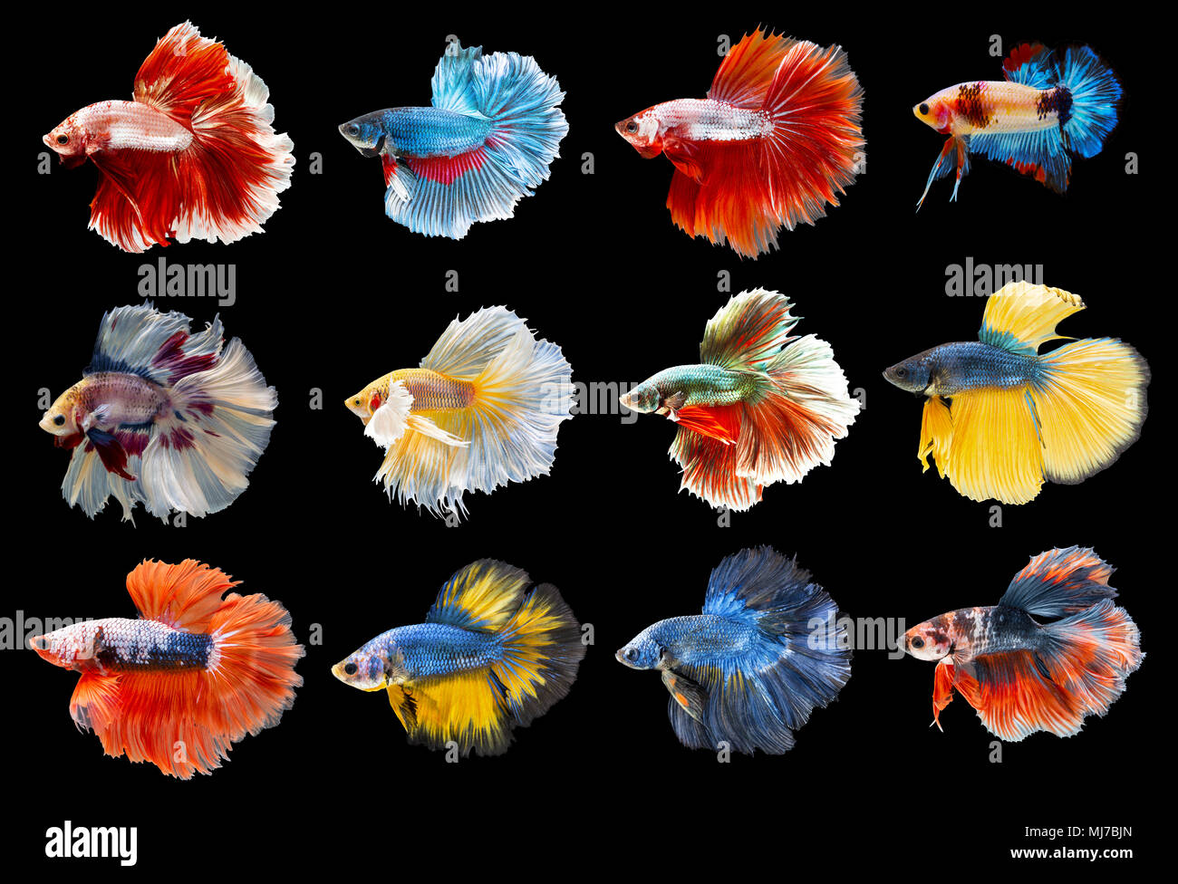 Collection of colorful Siamese fighting fish. Mixed beautiful betta. - Stock Image