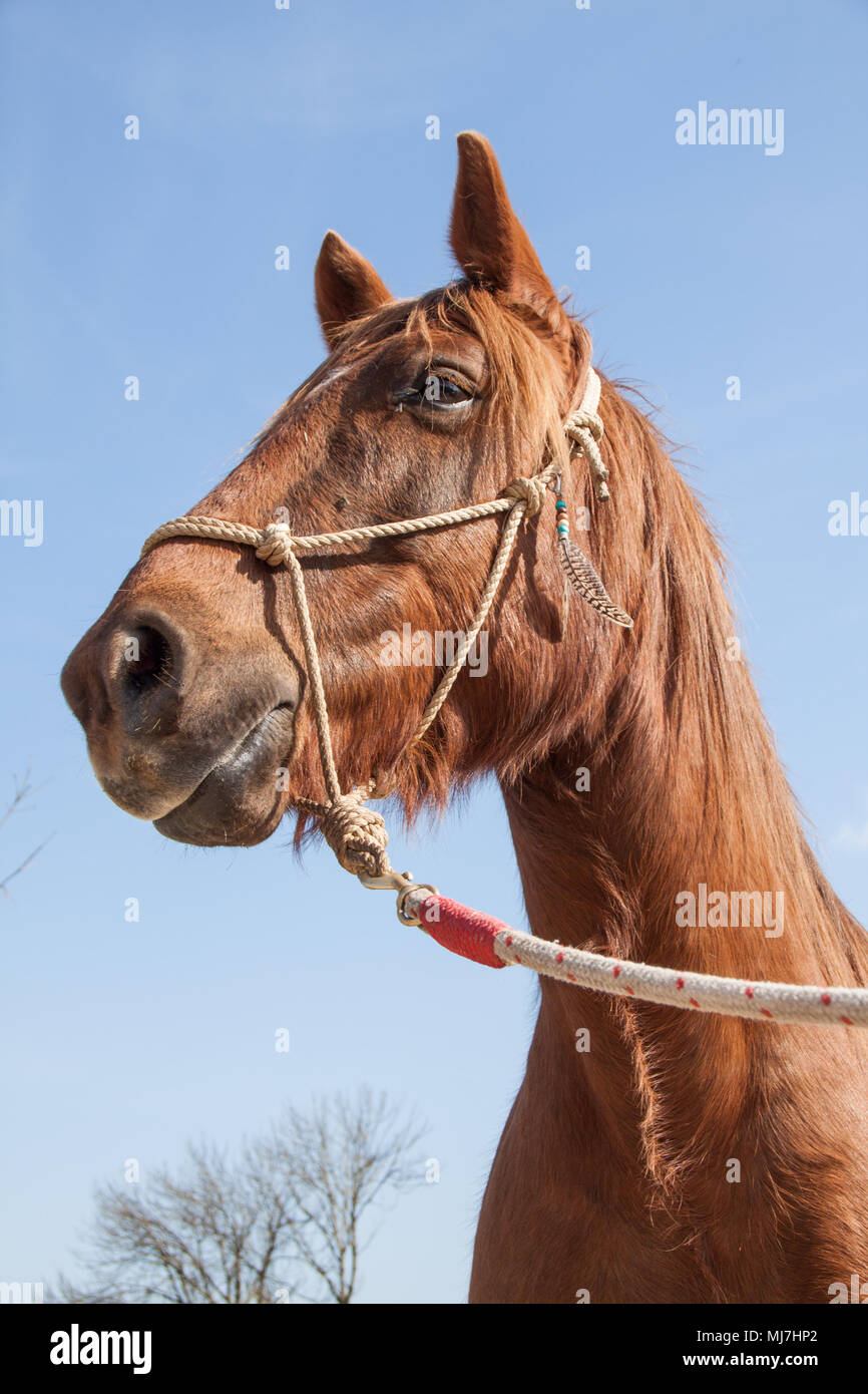 Brown Workhorse with Rope Harness on a Sunny Blue Sky Day - Stock Image