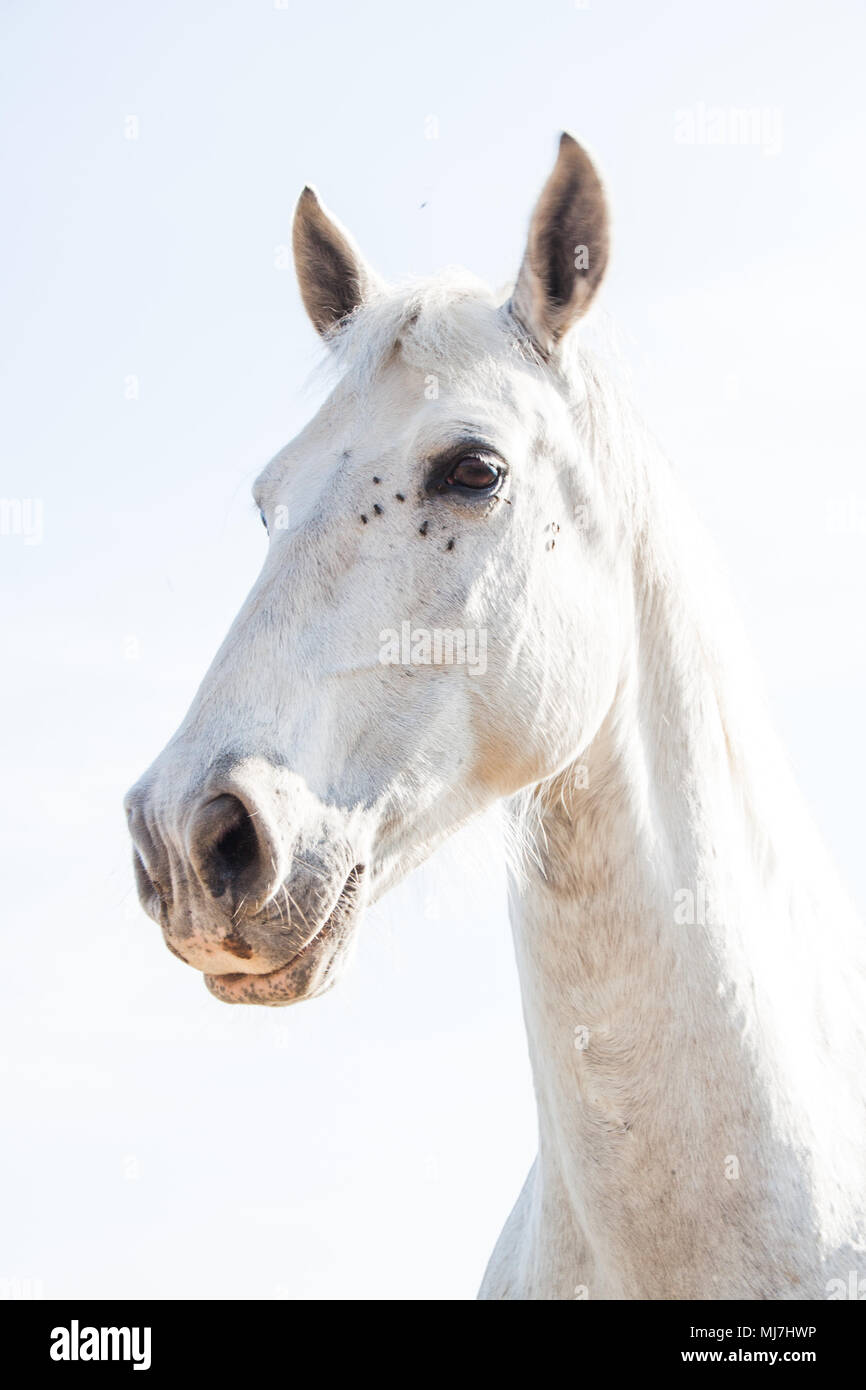 White Horse on a Bright Sunny Day with Flies around the Eyes - Stock Image