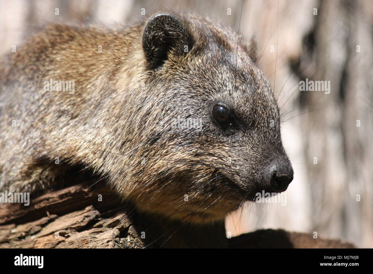 Head shot of a Rock Hyrax - Stock Image