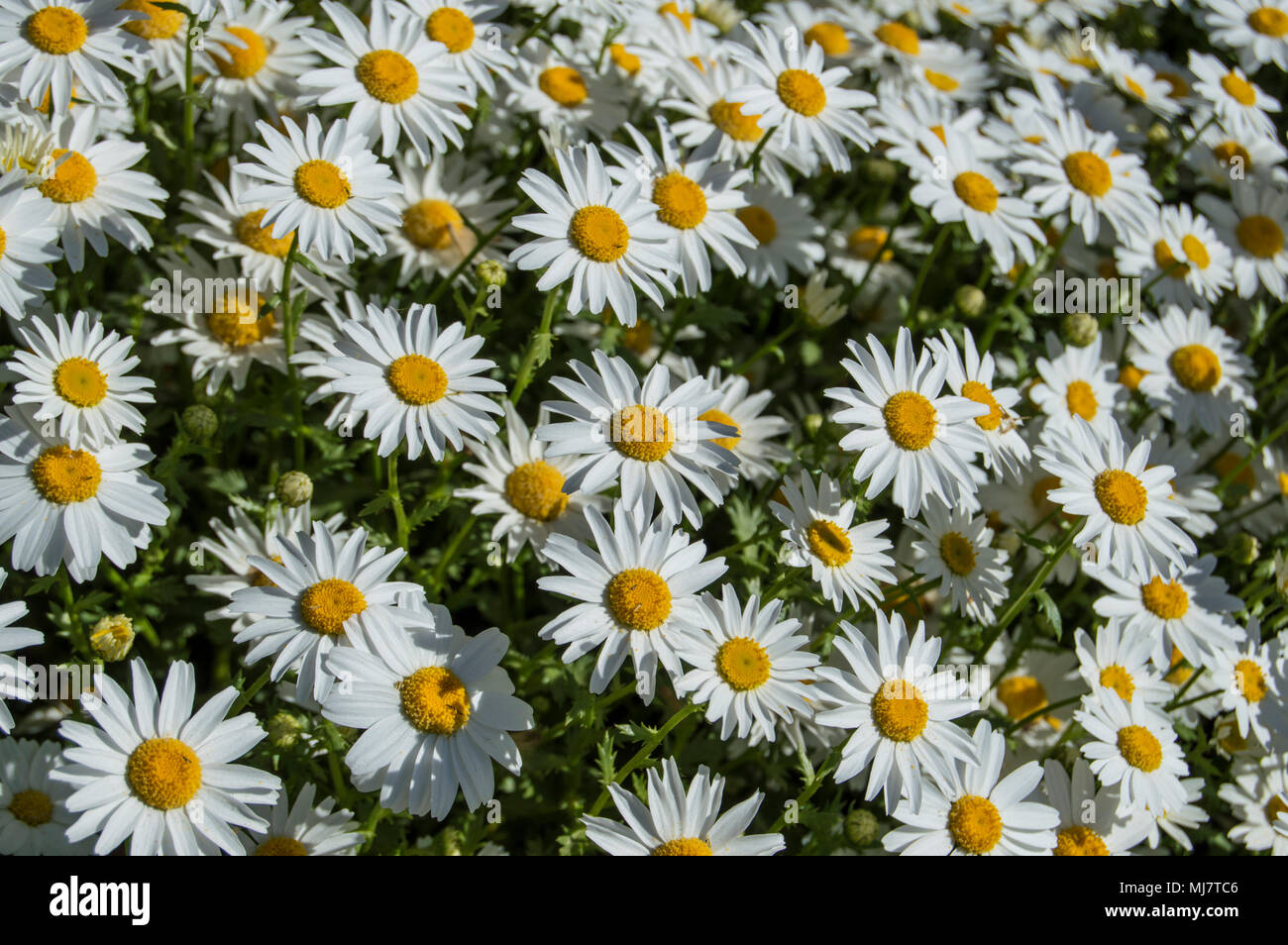 Large Of Daisies Flowers Background In The Spring In The Park In