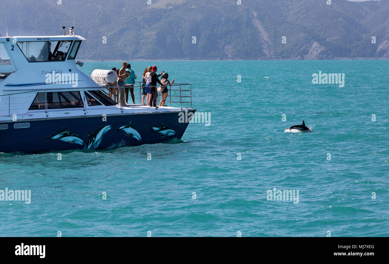 KAIKOURA, NEW ZEALAND - NOVEMBER 21, 2017: A group of people on a tour boat watch and photograph a Dusky dolphin (Lagenorhynchus obscurus) as it jumps - Stock Image
