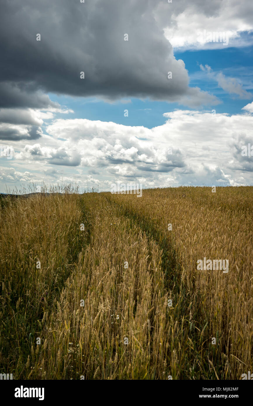 Cornfield Germany Stock Photo