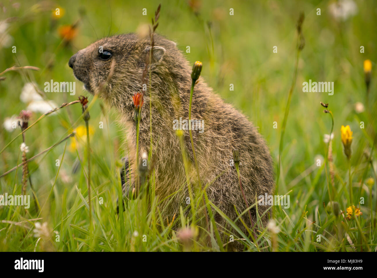 baby marmot searching for food - Stock Image