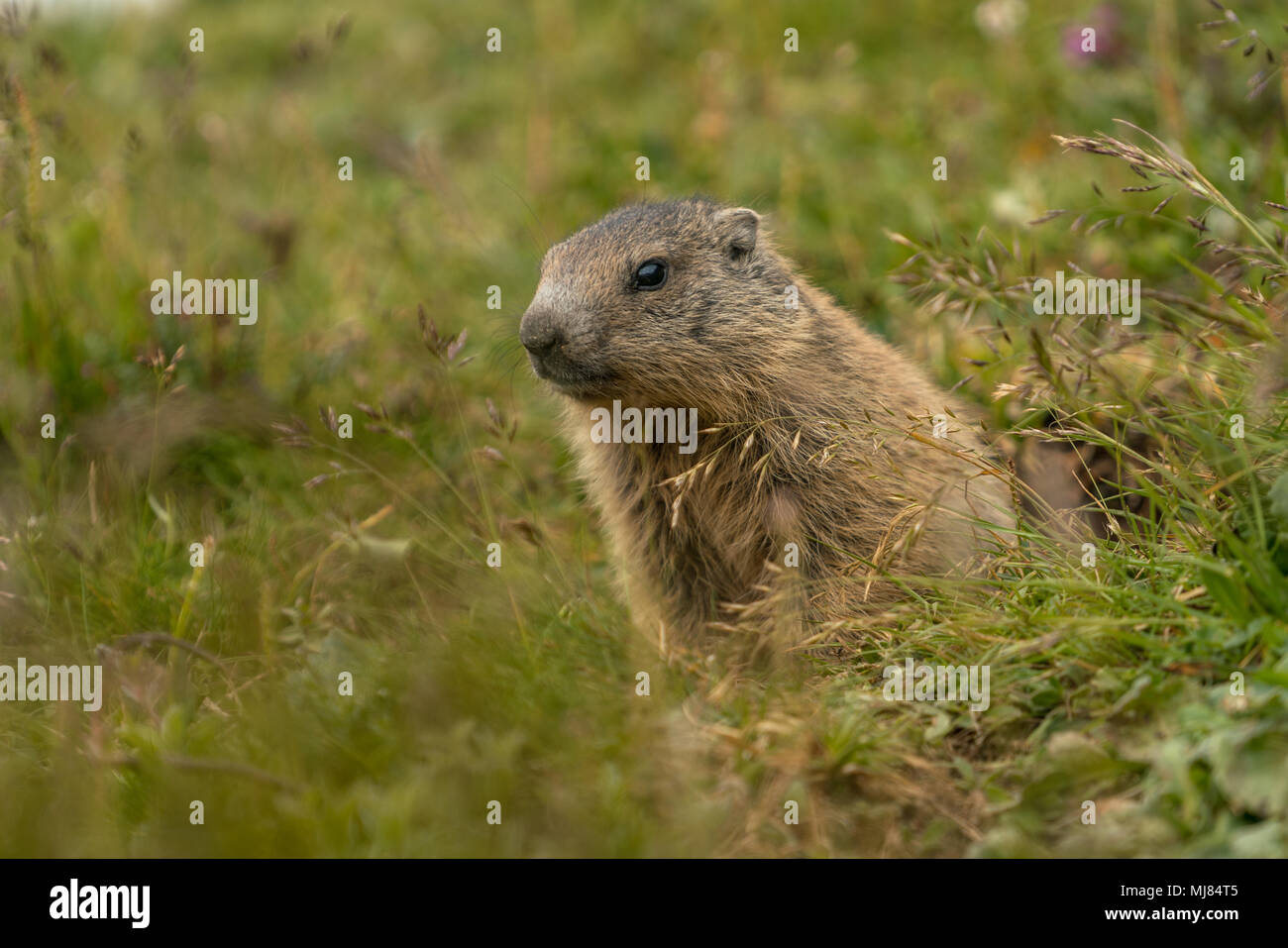 Baby marmot in the grass - Stock Image