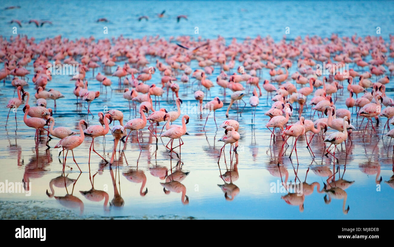 Reflection of large flock of pink flamingos standing in a lake. - Stock Image