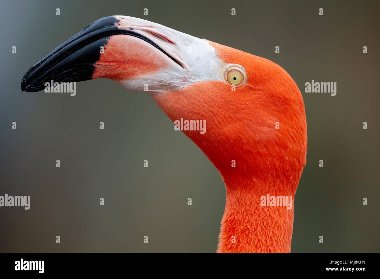 Red Caribbean flamingo close-up head detail - Stock Image
