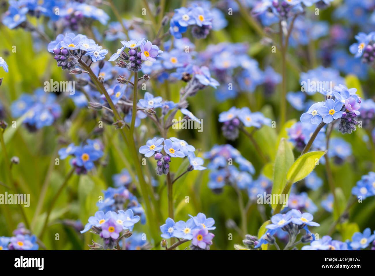 Blue spring flowers of the biennial cottage garden wood forget me not, Myosotis sylvatica - Stock Image