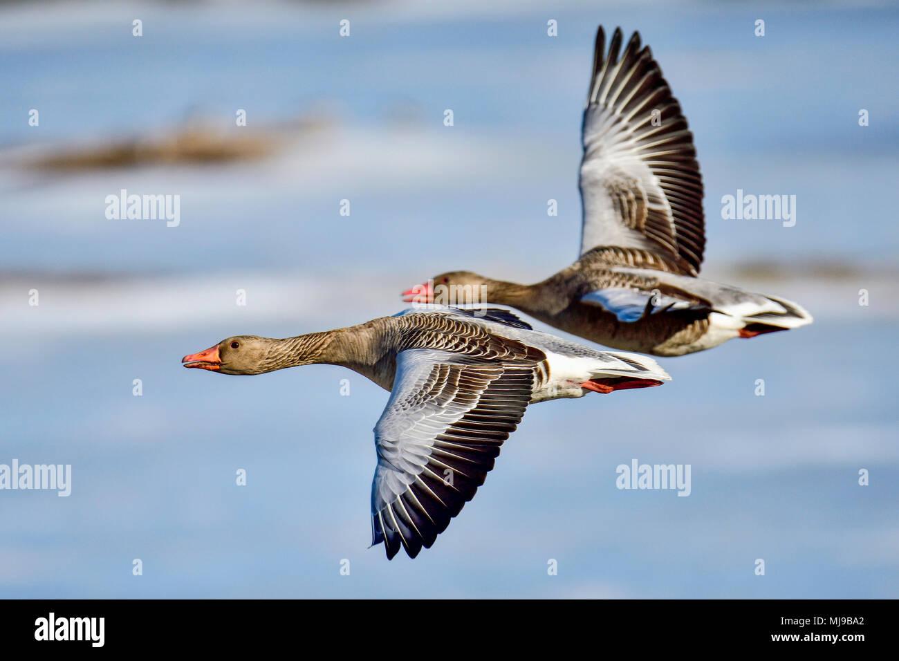 Greylag goose couple moving forward. - Stock Image