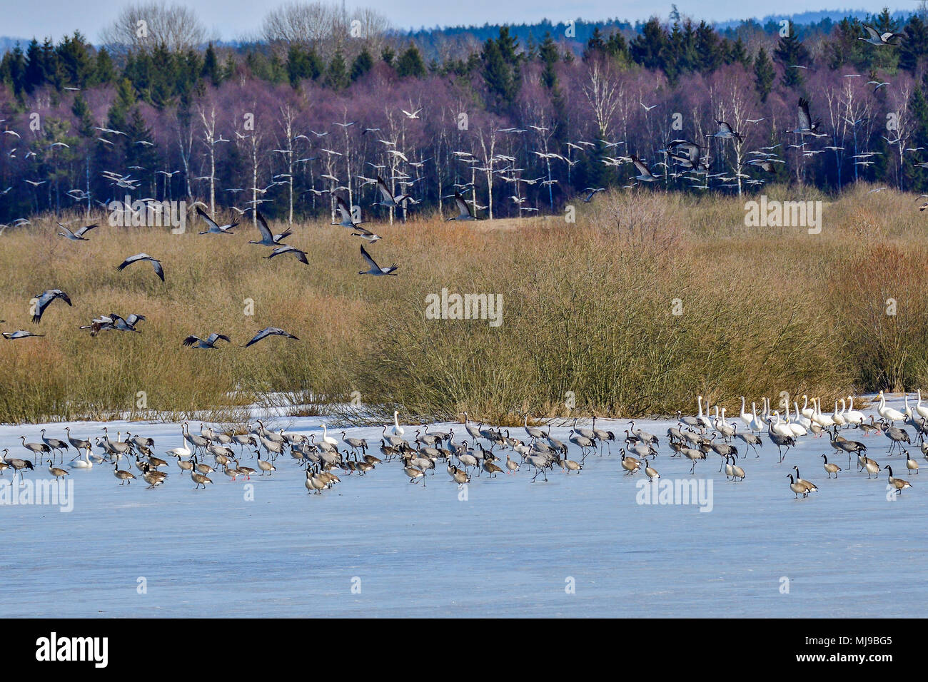 This happens when migration gathering gets disrupted. Those who wont fly away marches to the frozen lake. - Stock Image