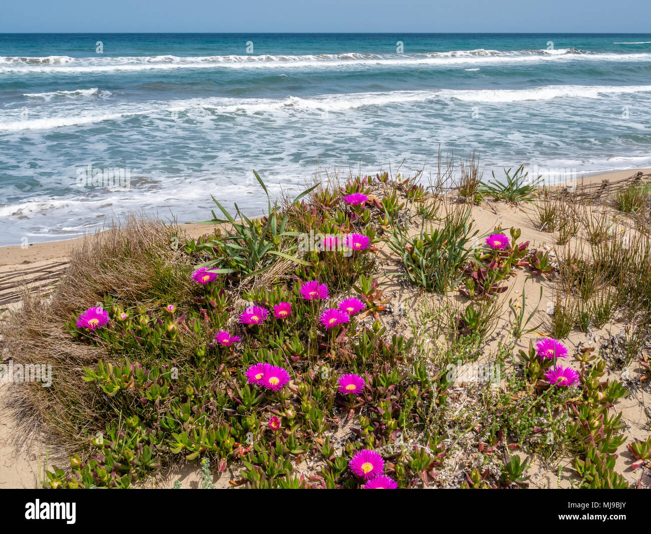 Plants growing in sand dunes above the beach in northwest Sardinia - Stock Image