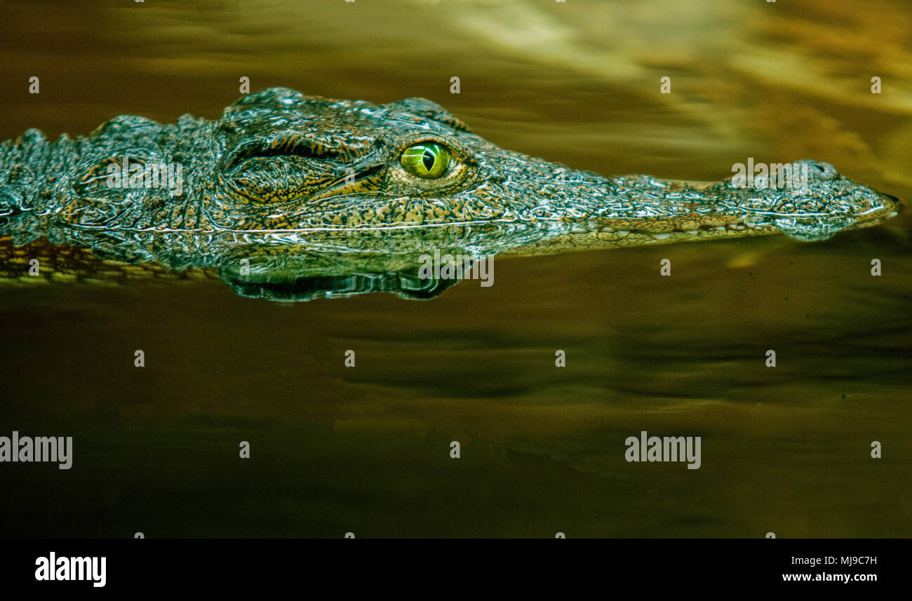 Crocodile side view in water - Stock Image