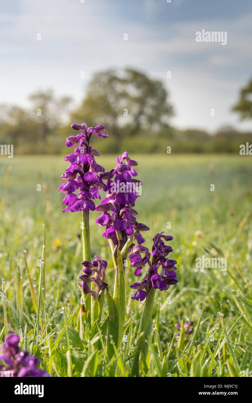 Green-winged Orchid, Anacamptis morio, early May on a dew covered Oxfordshire meadow - Stock Image