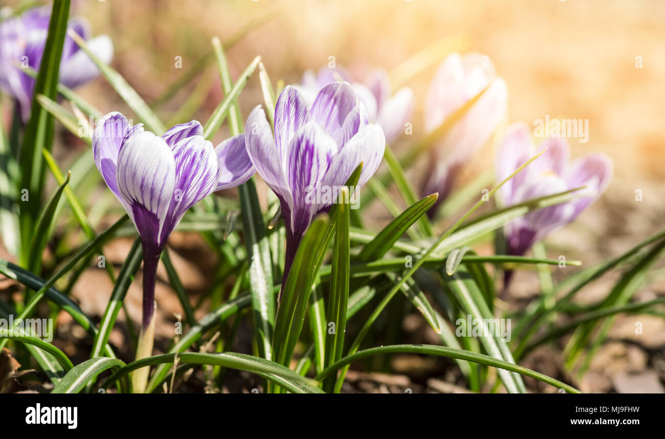 The First Spring Flowers Crocus White Spring Fragrant Flowers Of
