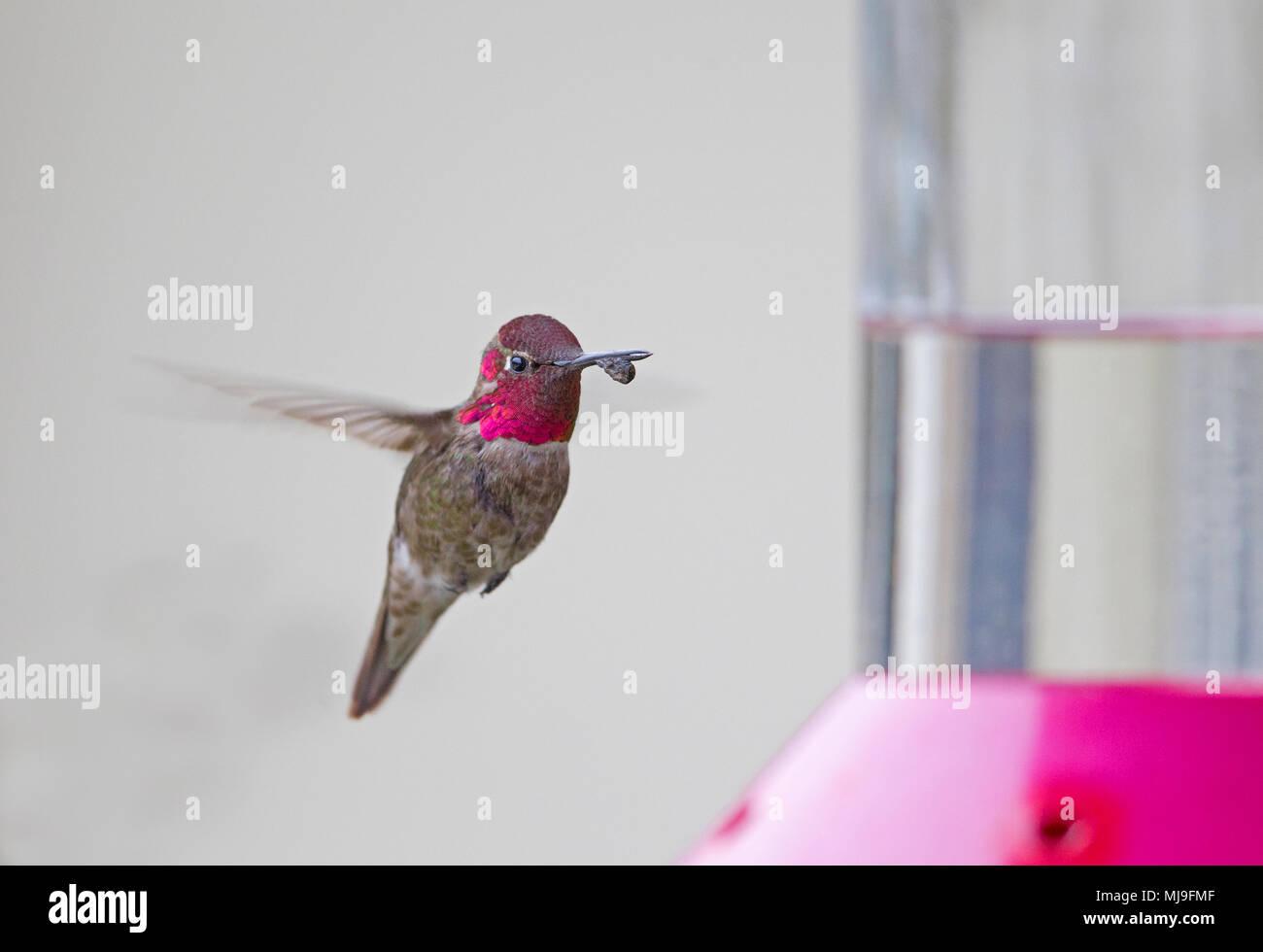 Anna's Hummingbird Male with Abnormal Beak - Stock Image