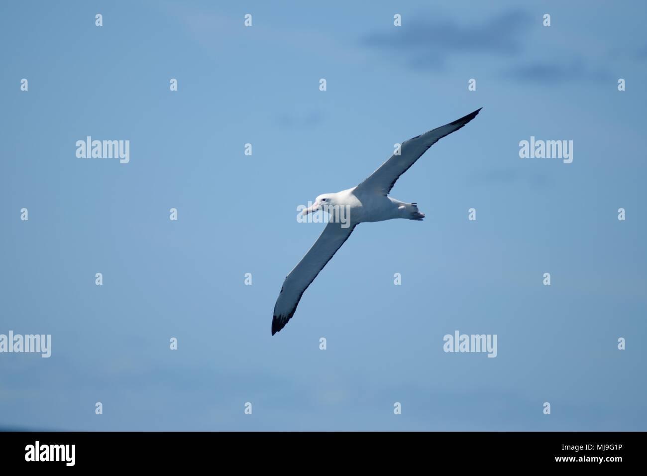 Gibsons Wandering Albatross, Auckland Islands Wandering Albatross. Diomedea gibsoni. Diomedea exulans gibsoni Diomedea antipodensis gibsoni - Stock Image