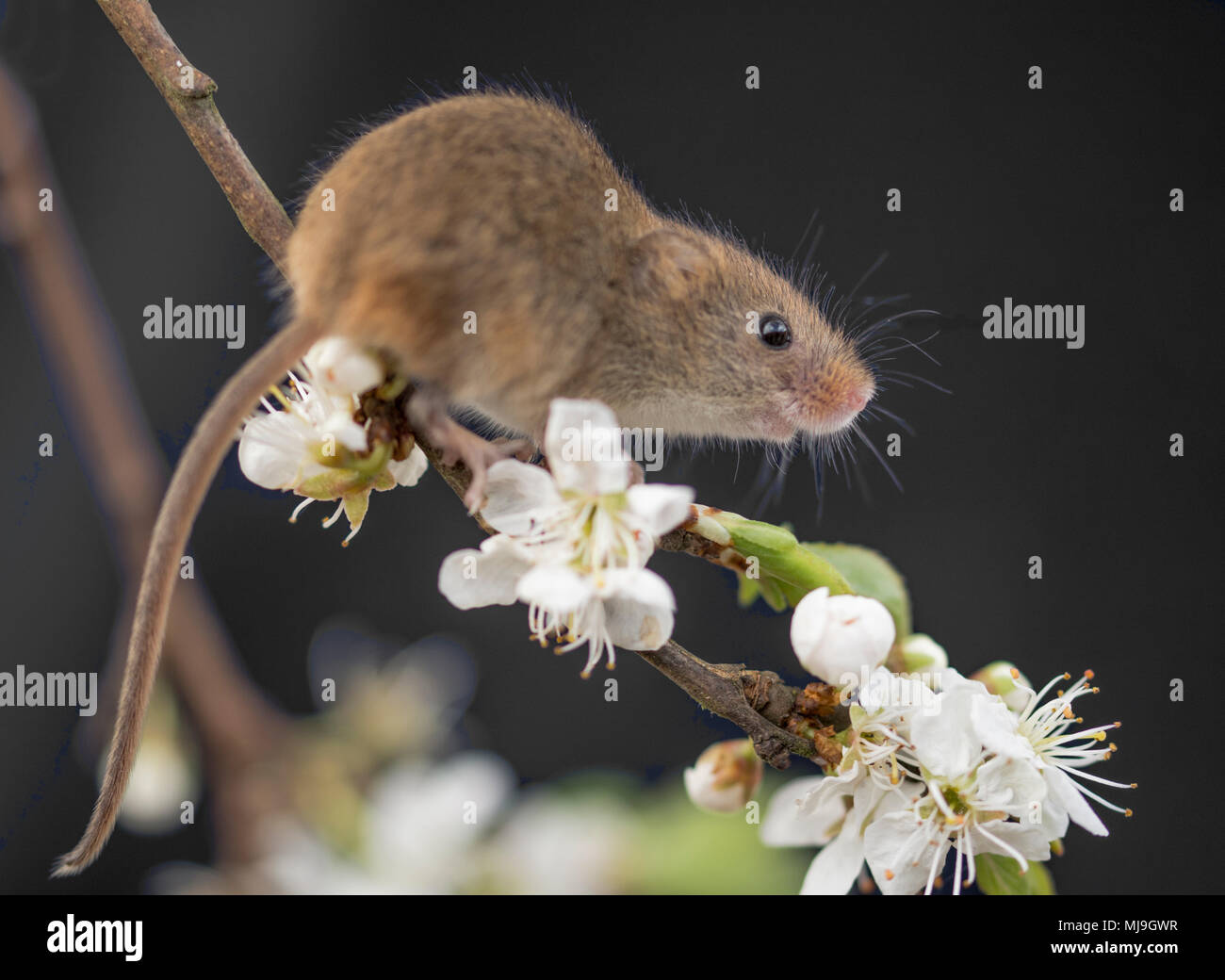 Cute little harvest mouse on spring blossom - Stock Image