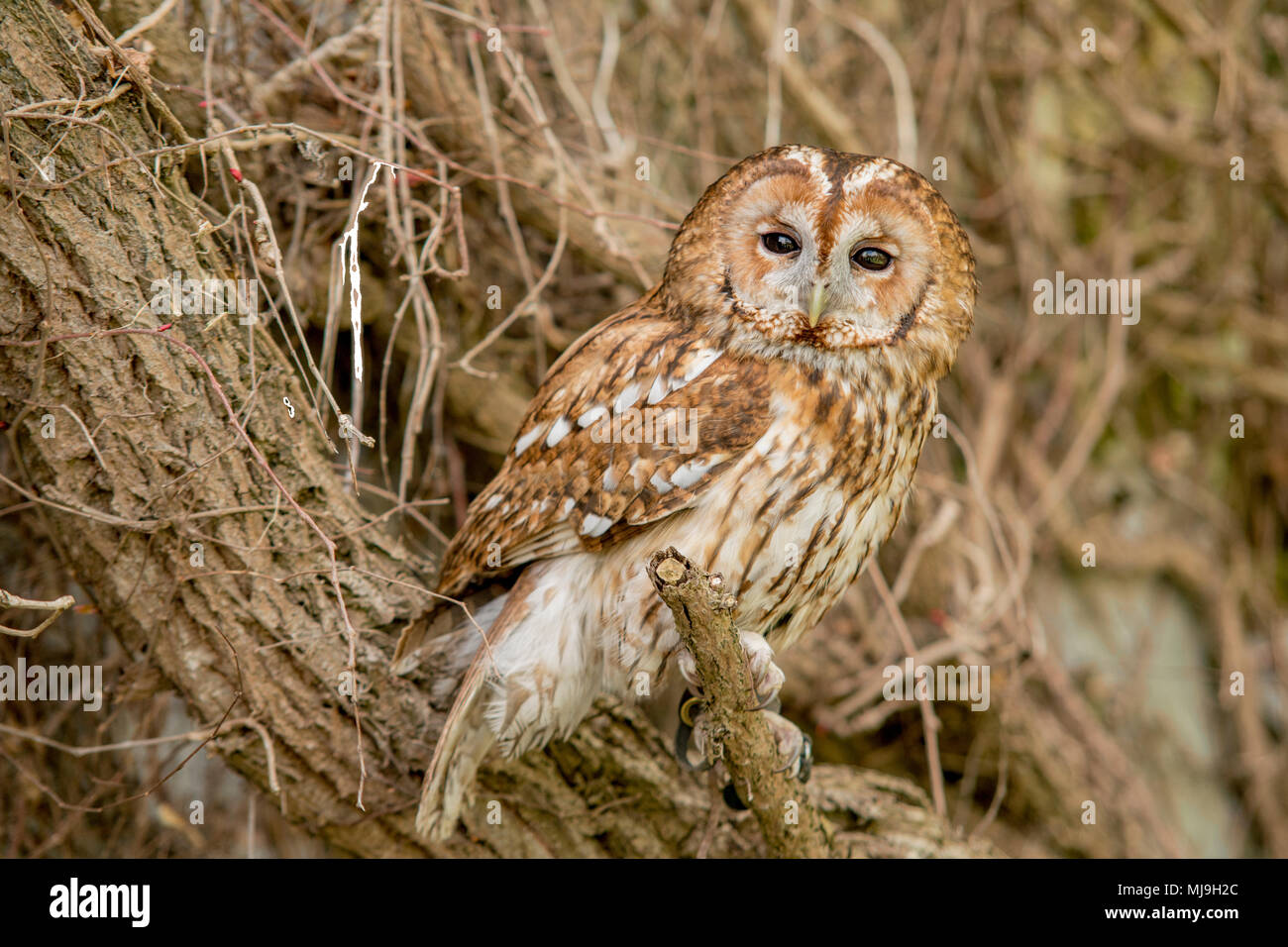 Beautiful tawny owl sat on an old vine - Stock Image