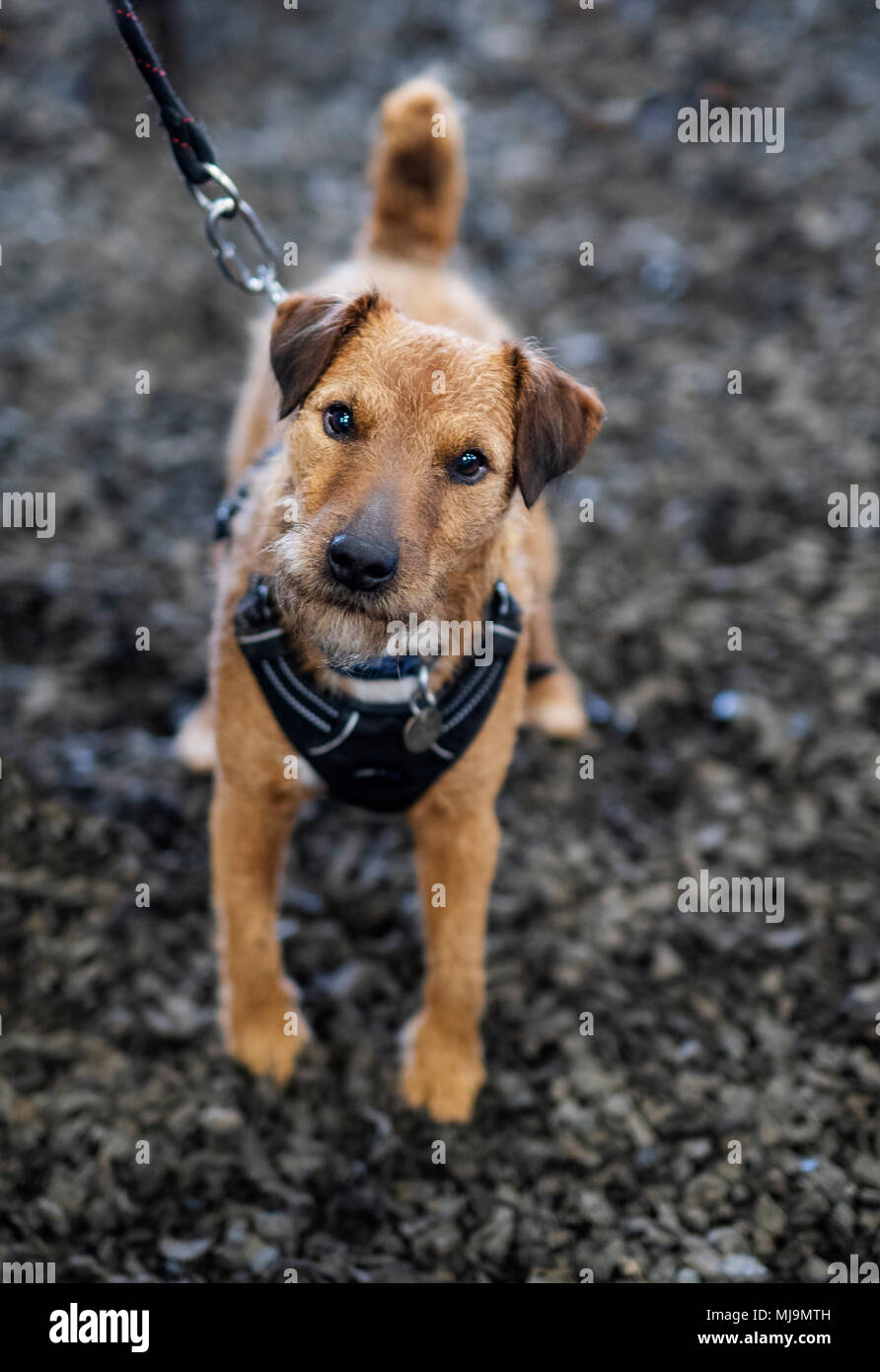 Cute little terrier posing for photo - Stock Image