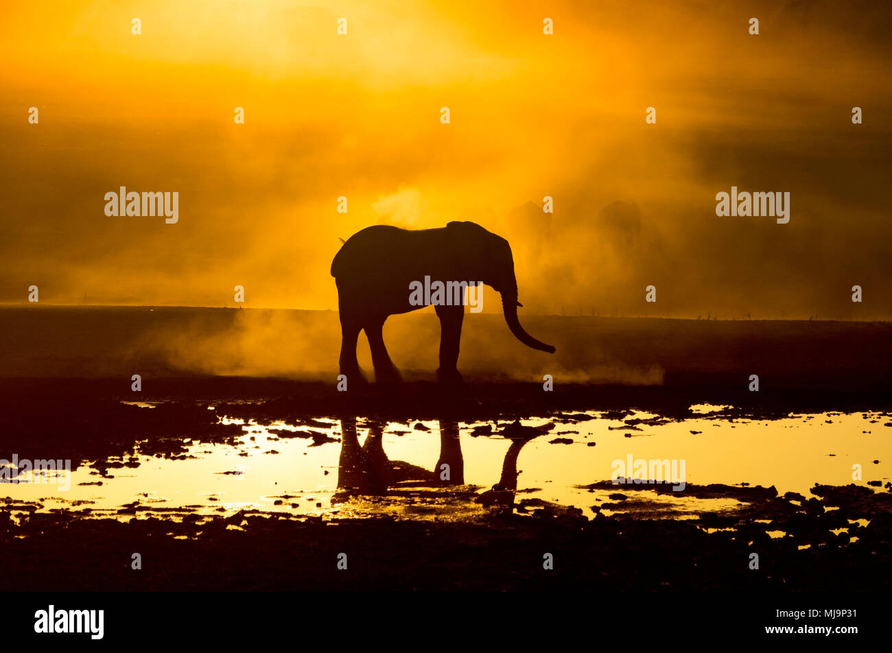 African Elephants silhouetted against the sunset - Stock Image