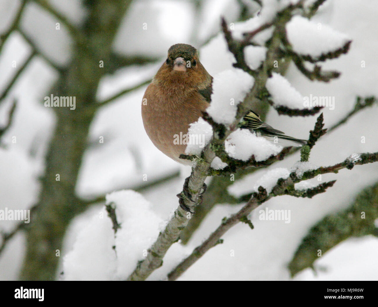 COMMON CHAFFINCH 2013 - Stock Image