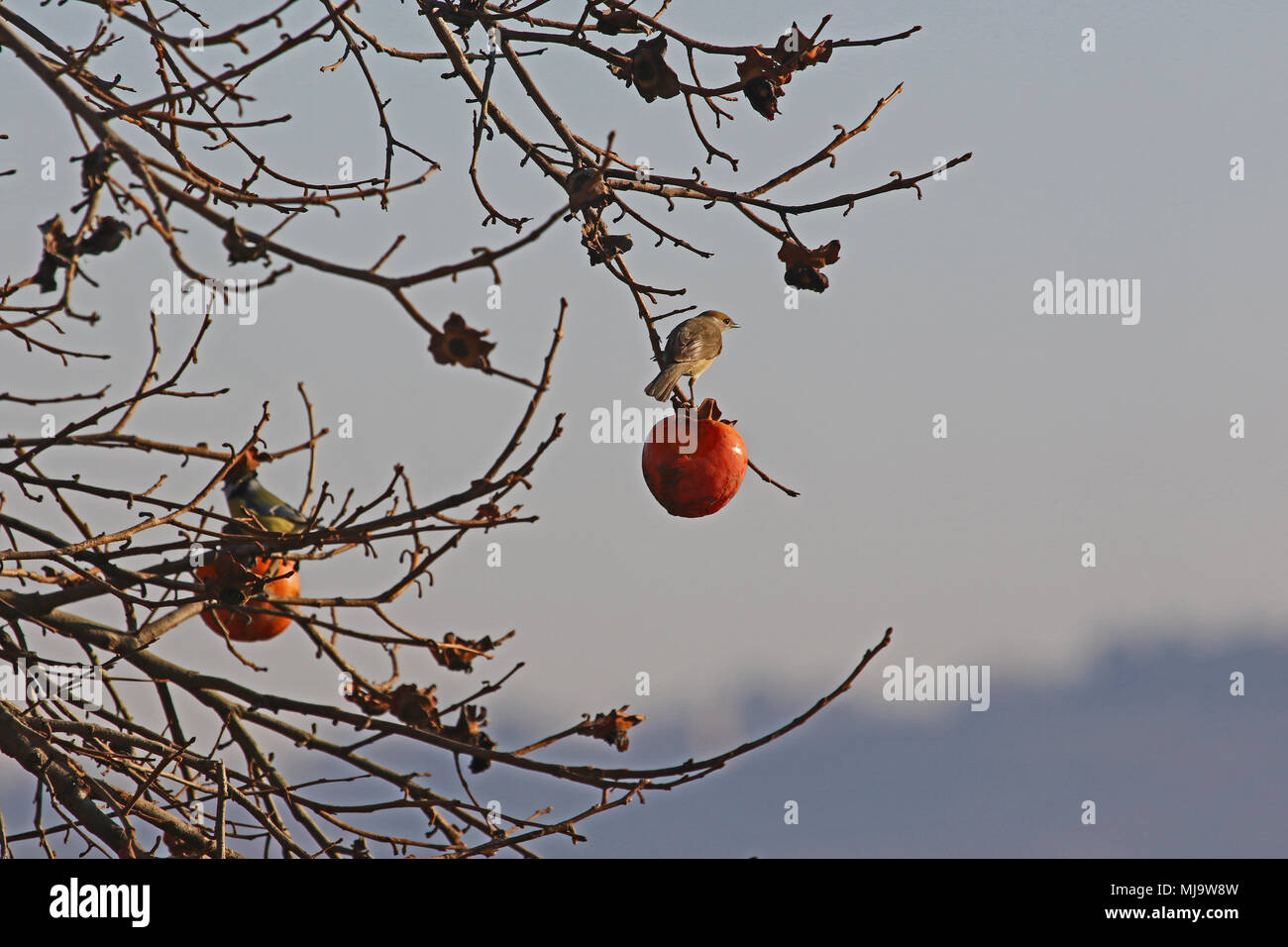 female blackcap with brown cap Latin sylvia atricapilla feeding in a persimmon tree in Italy in winter - Stock Image